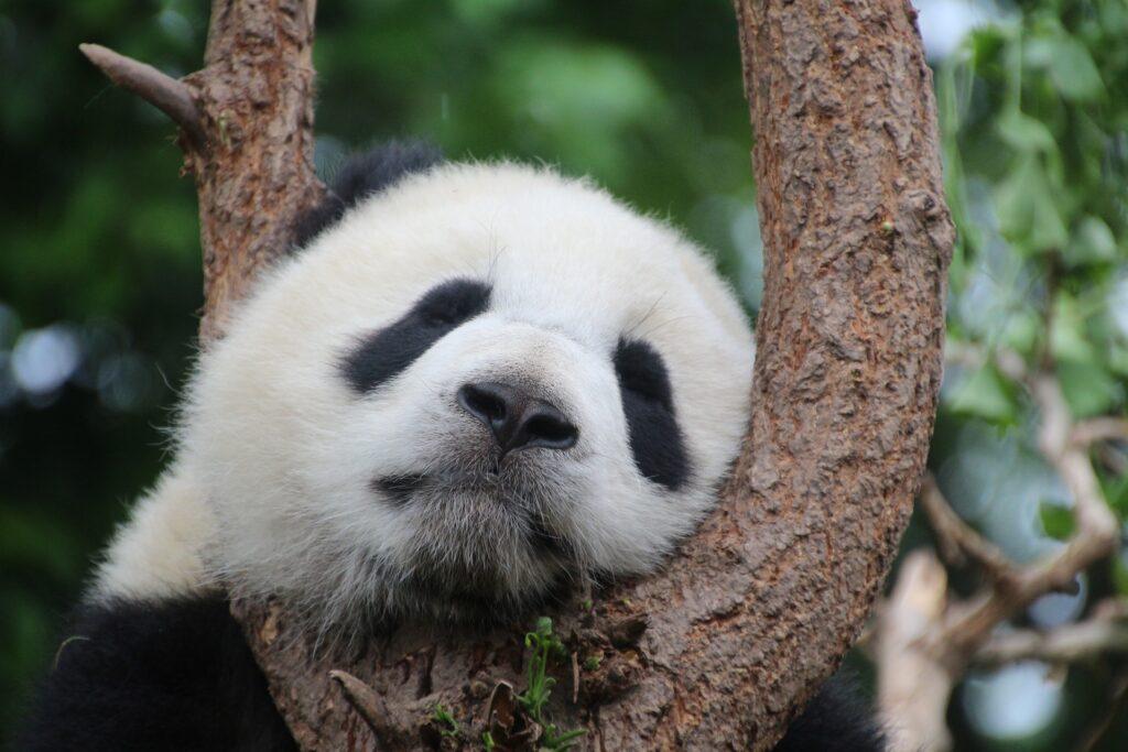 panda free antivirus, imágen de un oso panda en honor al antivirus